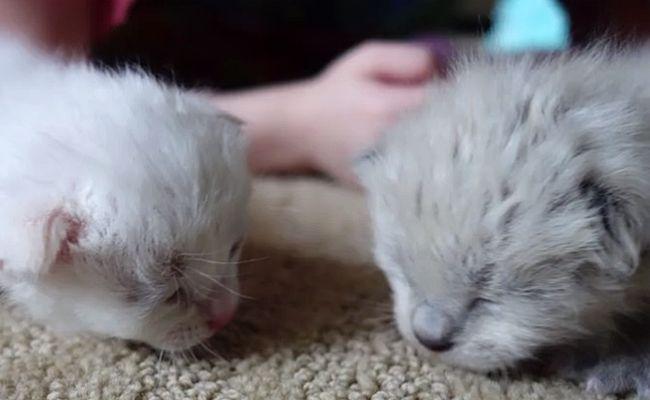 <3 <3  CES ENFANT  <3 SONT DES HÉRO <3 <3  Prendre soin de chatons nouveau-nés Children Rescue  Lorsque ces trois amis ont entendu des cris venant des buissons, ils savaient qu'ils devaient agir. Entièrement récupéré, les chatons Leo, Brie et Oscar attendent maintenant l'adoption!