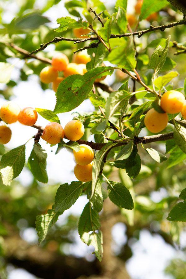 Mirabel eller Kirsebær-Blomme (Prunus cerasifera).  Den blomstrer i april-maj samtidig med løvspring og har ofte velsmagende eller melede gule eller røde frugter. Kan bruges til saft og frugtlæder, se opskrift Camilla Plum. http://www.havenyt.dk/artikler/koekkenhaven/frugttraeer_og_buske/920.html