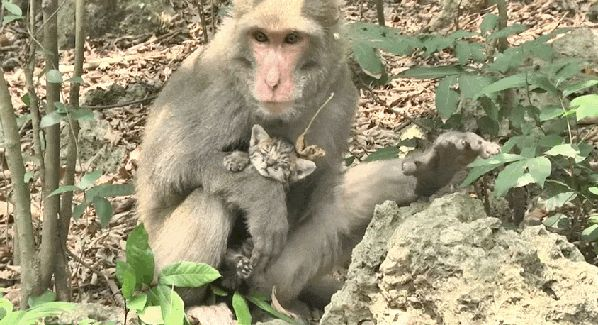 This Monkey Adopted Homeless Kittens as Her Own; How She Cares for Them is Beyond Words