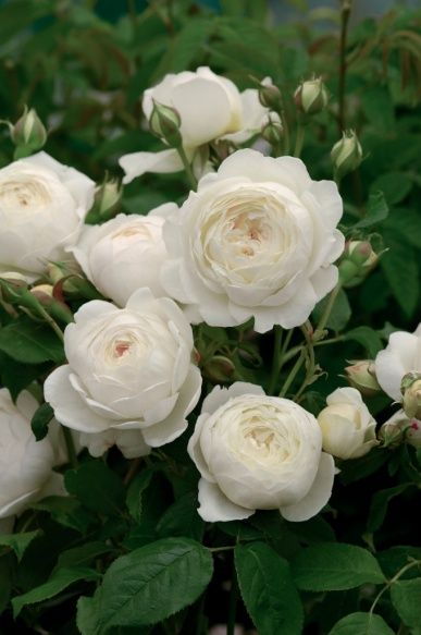 Most Fragrant English Roses - Claire Austin, David Austin roses