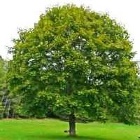 Silver Maple One of the fastest - growing windbreak trees you can plant. Grows 3 feet per year.