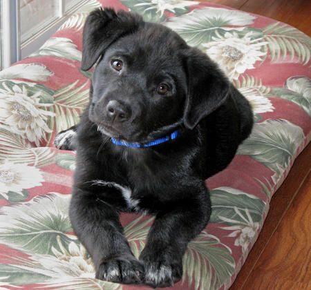 Labrador Corgi Mix - Stays small like a puppy