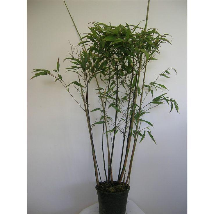 Phyllostachys nigra 40/80cm 3L