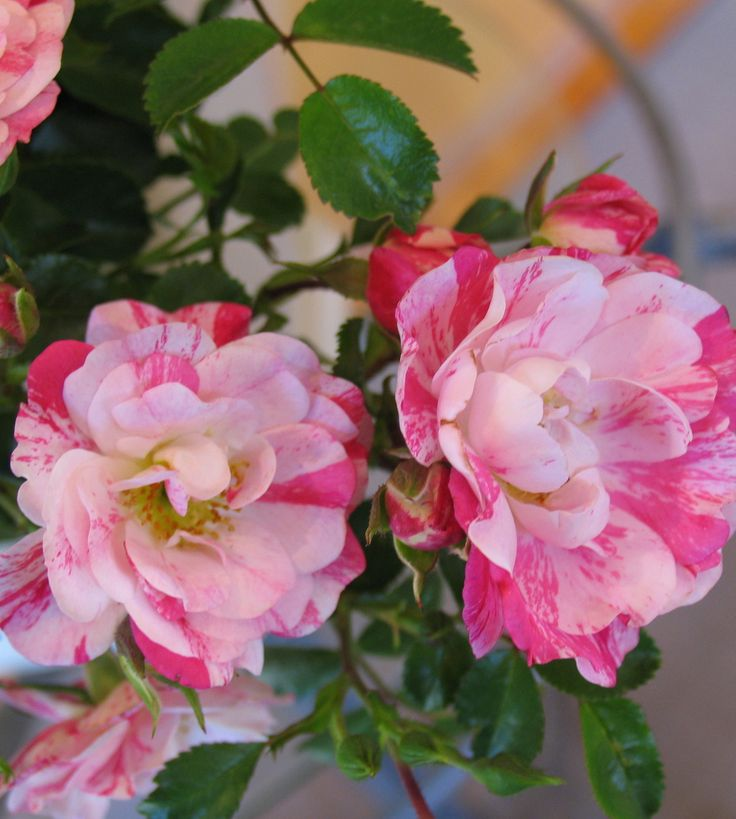 20 best images about flower carpet pink splash roses on for Easy care flowers for garden