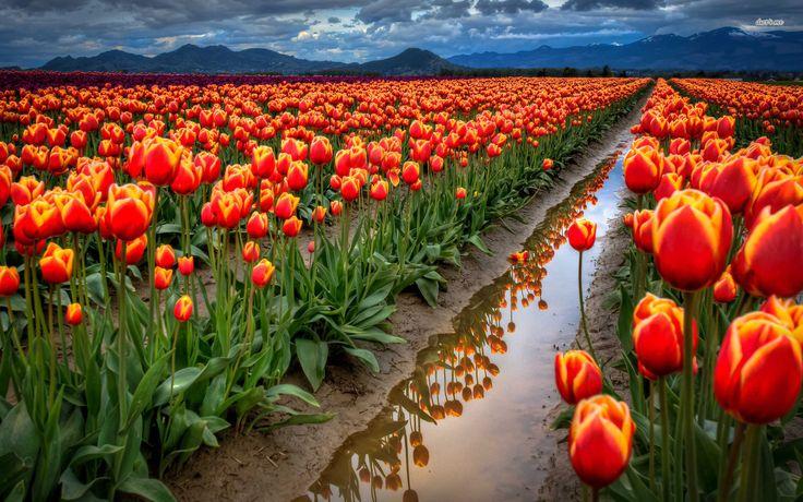 Tulip Flower Desktop Wallpapers Tulip Flower Pictures