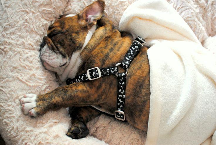 Sleeping English bulldog puppy, hvalp, hund, dog, worn out, cute, nuttet, sleeping, fluffy, adorable, photo
