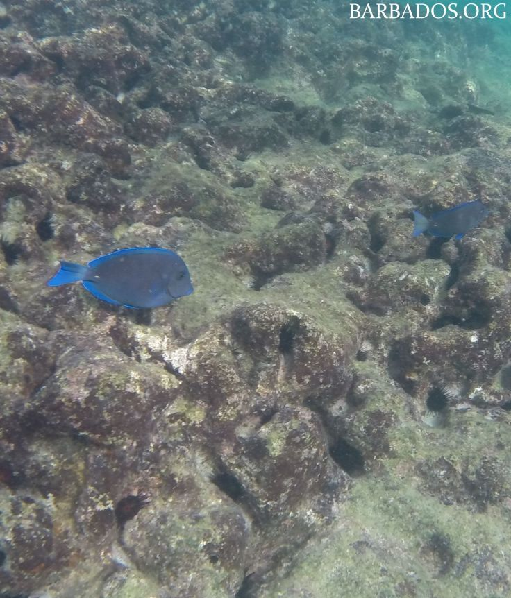 Colourful tropical fish and healthy coral reefs await you in the warm waters off Barbados. There are many beaches with excellent snorkeling close to shore.