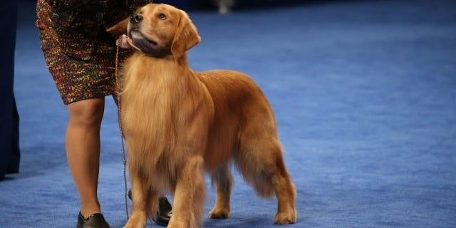 National Dog Show Golden Retriever Jack Daniels Wins Sporting