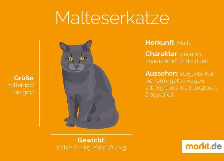 Rasseportrait Der Malteserkatze Markt De Katzen Malteser Graue Katzen