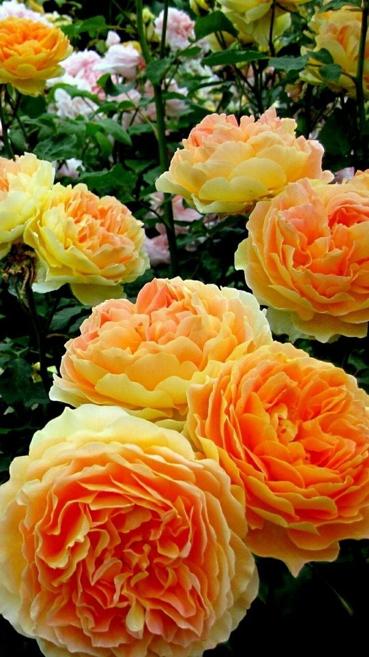 ¡que rosas mas lindas!
