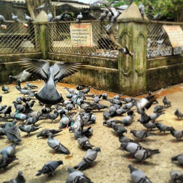 #mumbai #bombay #aweekvisit #awesome #temple #pigeon #flock