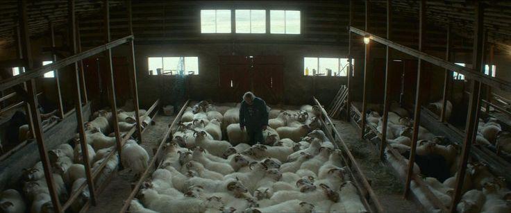 «Béliers», la guerre des moutons