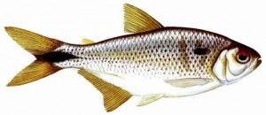 A pesca de lambari
