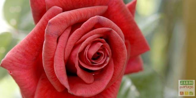 entretien rosier en hiver