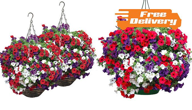 Buy 2 Petunia Surfinia Trailing Plant Hanging Baskets - Free Delivery! UK deal for just: £19.99 Your garden will bloom with these 2 x Petunia Surfinia Hanging Baskets      Take your pick from plastic or rattan baskets       Hang these trailing flowers on your balcony or porch      Shades of red, blue and white will add colour to your home      Trail of 80-90cm and spread of 10-15cm     ...