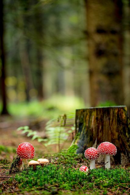 """blooms-and-shrooms: """" Fliegenpilz (Amanita muscaria)_Q22A7648 by Bluesfreak on Flickr. """""""