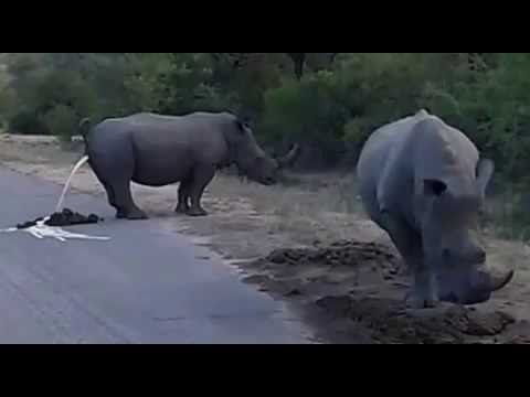 Rhinoceros Kruger Park - YouTube