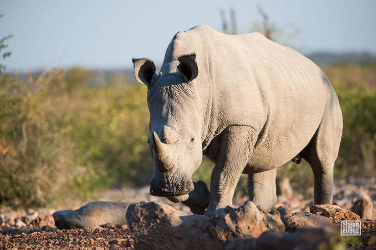White Rhino from Ongava Lodge hide