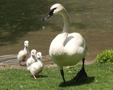 A Beleza dos movimentos Cisne uma ave que assim como o pavão povoou e ainda povoa nossos mitos, quem não conhece Barbie e o lago dos cisne...