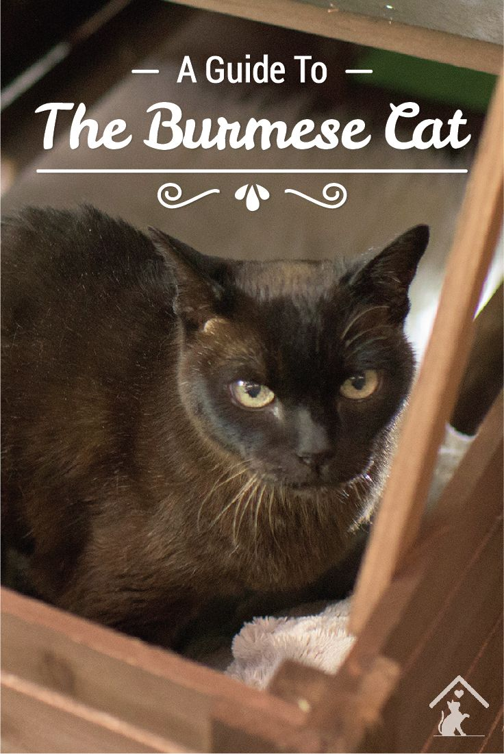 Burmese cats are athletic, beautiful and whipsmart! Click the pin to read our guide. #burmese #burmesekittens #burmesecats