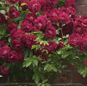 Climbing Black Boy (Clark) has large semi-double crimson blooms. It is a repeat flowerer with a beautiful sweet rose fragrance. Climbing roses are ideal for using to cover a bare wall or fence, to train up and over an arch, or to cover an obelisk. Allow 2m between each plant, and take care to train the canes in...