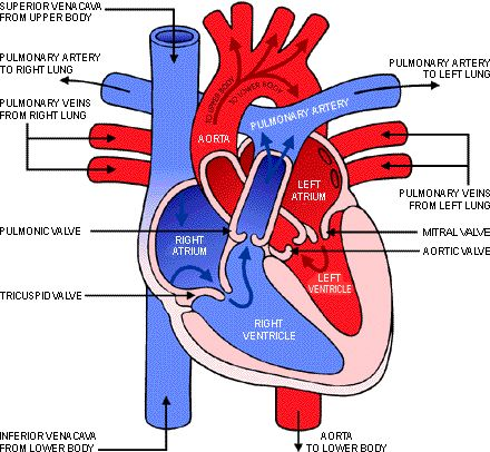 17 best ideas about heart diagram on pinterest | heart anatomy, Muscles