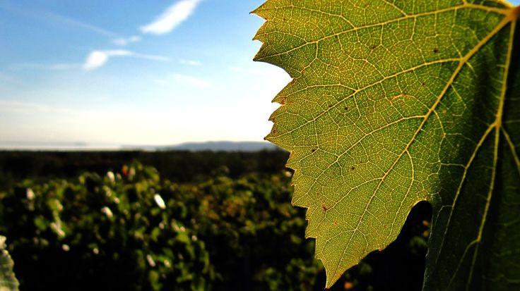 Wineyards by Szabolcs Sélley on 500px