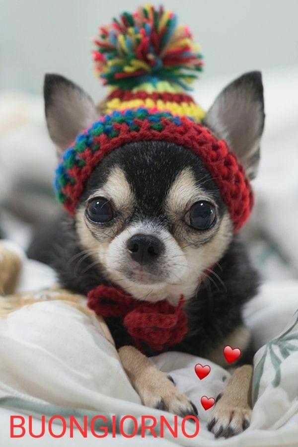 Pin Von Darcy Auf Buongiorno Baby Katzen Chihuahua Welpen Hunde Pullover