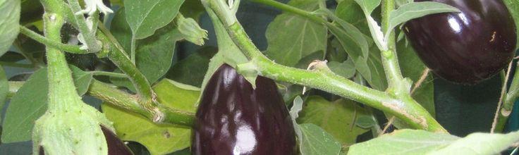 Aubergine : culture de l'aubergine est originaire des pays chauds et doit donc se cultiver au chaud. Elle apporte une saveur inégalable à vos plats méridionaux.