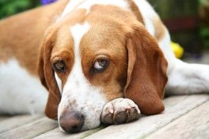 Beagle Temperament – Lovable and Smart, Quite Possibly a Perfect Match