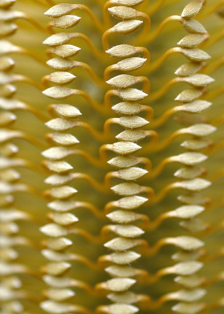 Macro of Banksia flower head. (called a Candle)