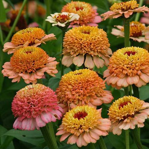 ZINDERELLA PEACH Zinnia Seeds Zinderellas are the first scabiosa-flowered zinnias offered in such unique shades. Stunning 2 ½ inch crested blooms are peachy salmon with cream centers, and a dark eye. Plants grow 24 inches high and make outstanding additions to cut flower arrangements. A Fleuroselect Novelty Award winner Zinnia 'Zinderella Peach is new for the 2015 season.
