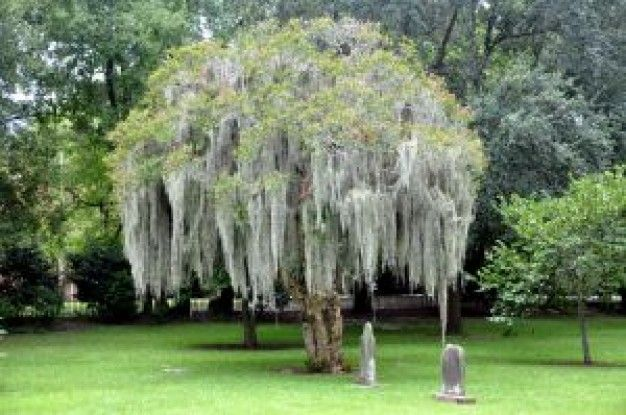 mirto árbol con musgo español