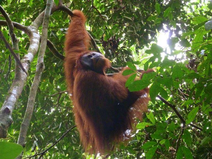 Ketambe, Sumatra