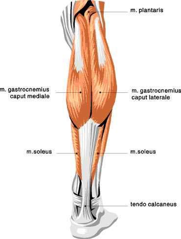 Muscle Exercise Soleus Muscle Exercise