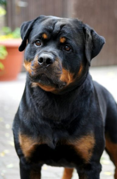 All about the Rottweiler, character, health, education, puppies and breeding