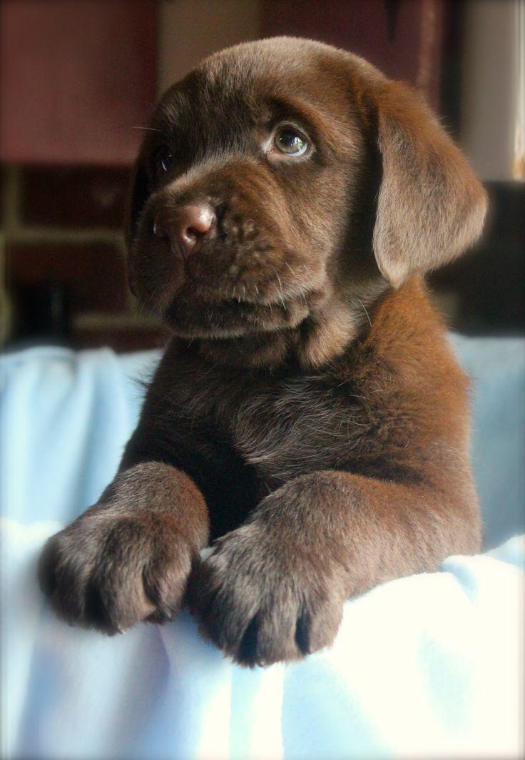 Latest puppy photo session! Chocolate boy.