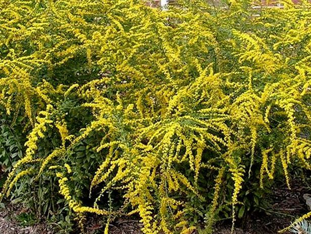 17 low maintenance plants and dwarf shrubs yellow for Low maintenance summer flowers