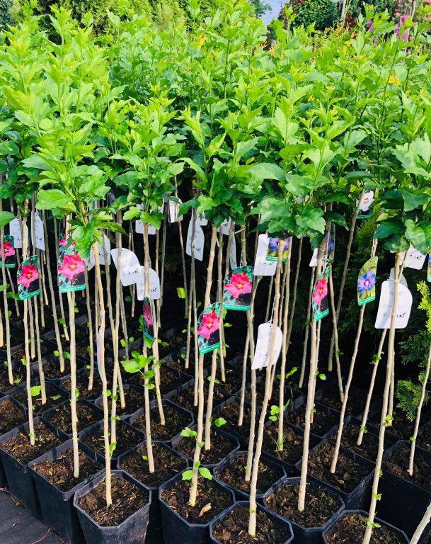 Hibiskus Na Pniu Garden Tools
