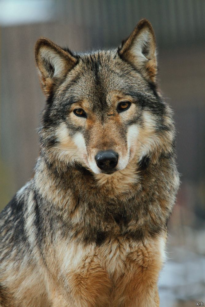 """ Yakima, Part Eurasian Wolf, part Timber Wolf (Canis Lupus) at Wisentgehege Springe, Springe Germany. By khevyel ""-SR"
