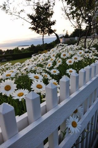 White Picket Fence n Daisies 8x10 Photo by EvensenPhotography