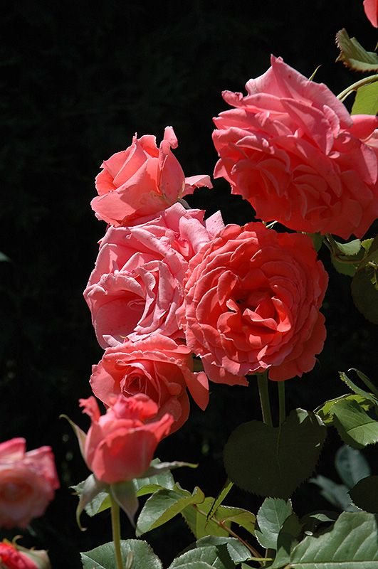 Click to view full-size photo of Climbing America Rose (Rosa 'Climbing America') at Stein Gardens & Gifts