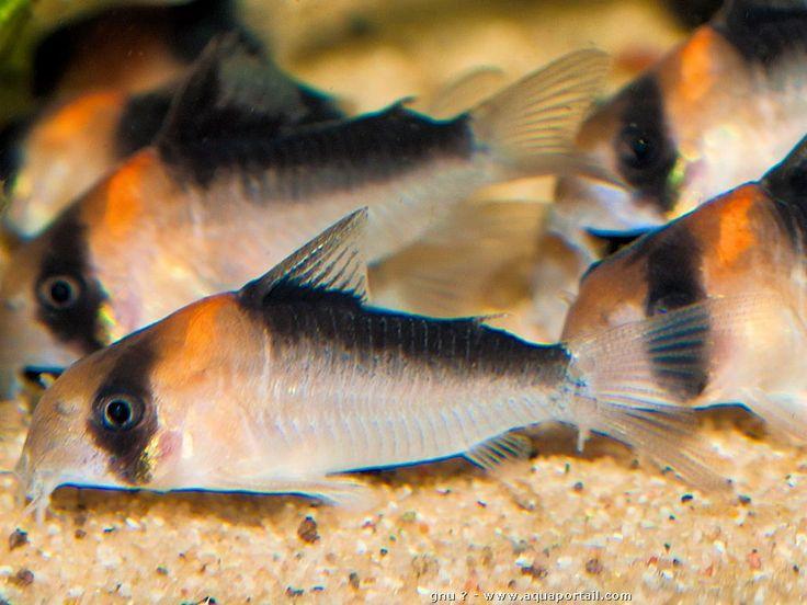 Corydoras duplicareus, un poisson chat du Brésil parfait en aquarium