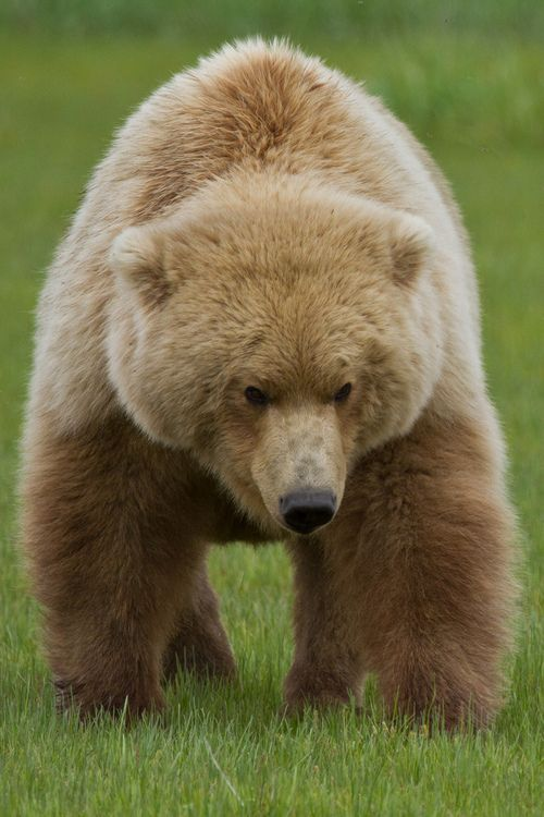 Brown Bear in the Grass (by toryjk)