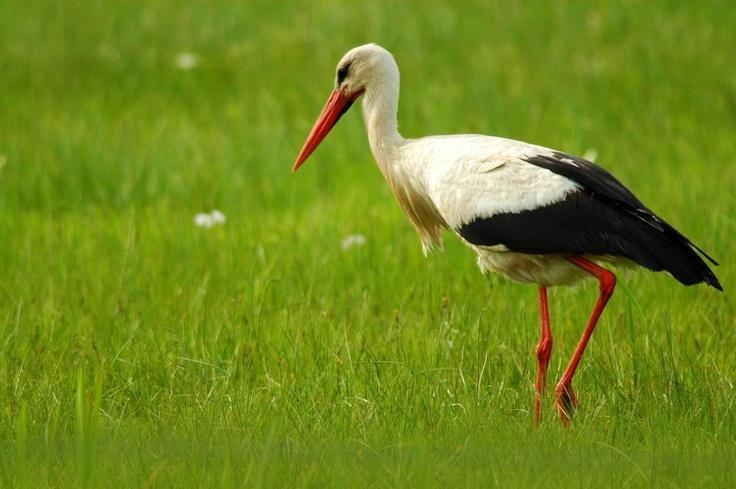 white storks in Biebrza National Park