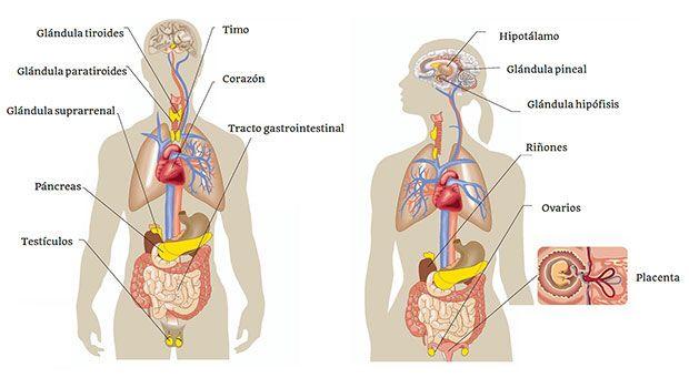 El sistema endocrino es un conjunto de órganos y tejidos del organismo encargado de segregar hormonas. Se distribuye por el organismo de manera similar al sistema nervioso sólo que, en este caso, lo hacen mediante sustancias y no a través de impulsos nerviosos. A los órganos del sistema endocrino también se los conoce como glándulas.…