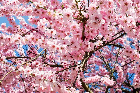 Hello Welcome To Our Hopehappyshop Where To Find The Flowers Vegetables Fruit Trees That Turn The Garden Yo Japanese Cherry Tree Pink Trees Trees To Plant
