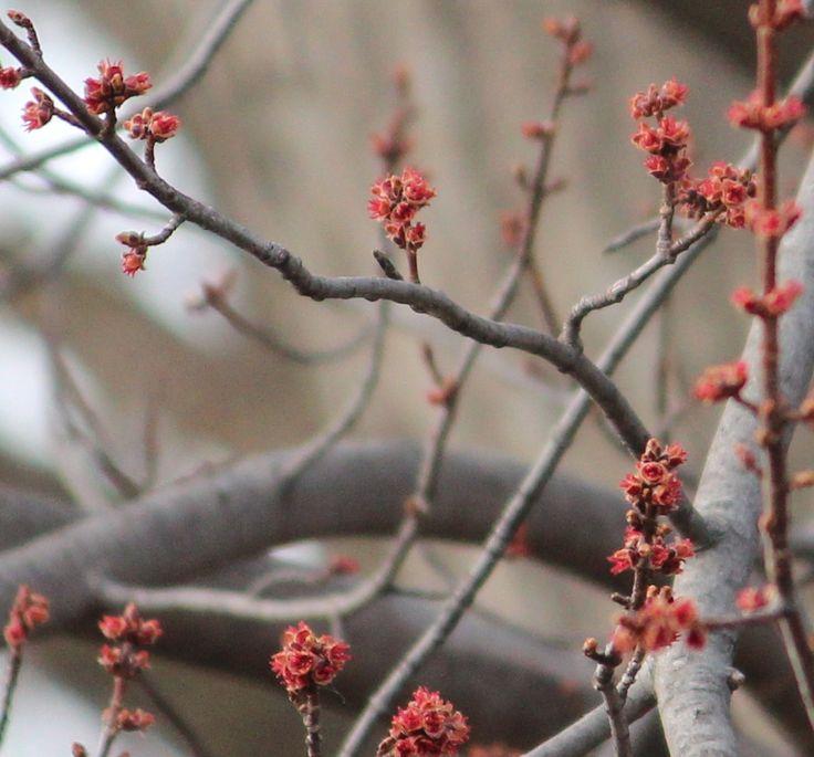 Acer saccharinum (Silver Maple) early spring flower.  garden-stories.com