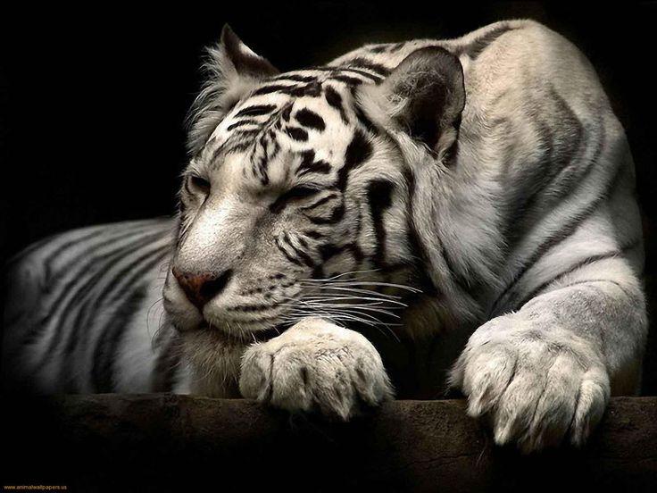 Siberian white tiger sleeps