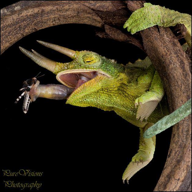 Jackson Chameleon Tattoos: 44 Best Chameleon Images On Pinterest
